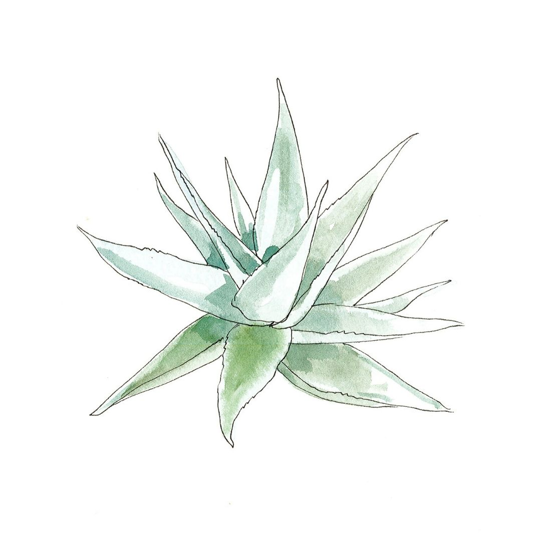 Aloe Vera - botanical skincare ingredient illustration