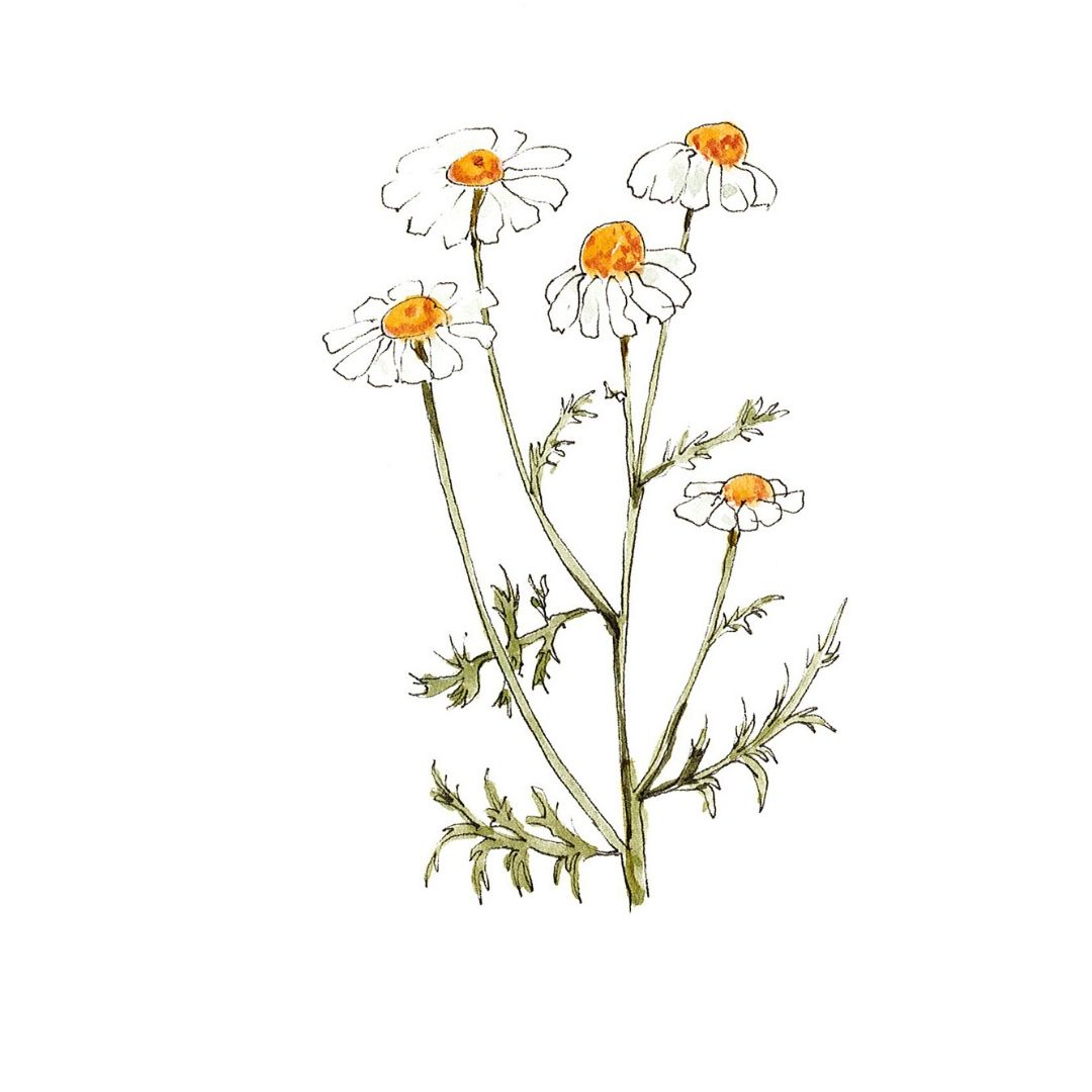 Chamomile - botanical skincare ingredient illustration
