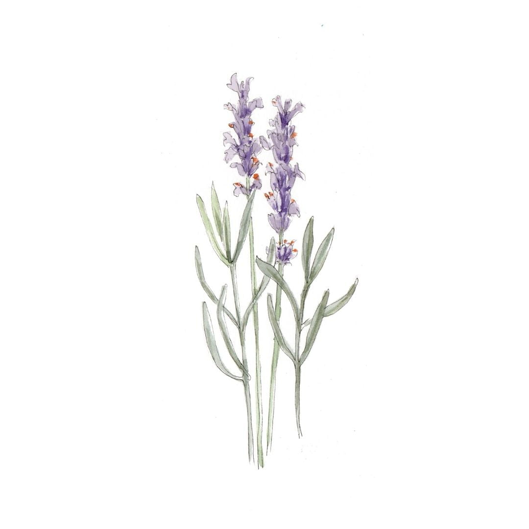 Lavender - botanical skincare ingredient illustration