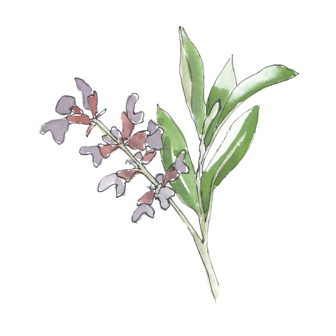 hand drawn illustration of Clary Sage - star ingredient in AMLY botanical skincare range