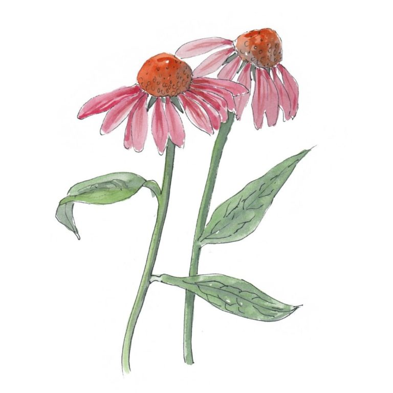 hand drawn illustration of echinacea - a star botanical ingredient in AMLY skincare range