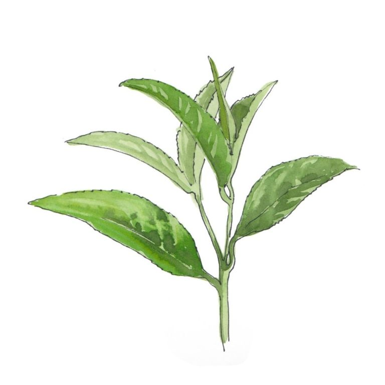 hand drawn illustration of green tea - star ingredient in AMLY botanical skincare products