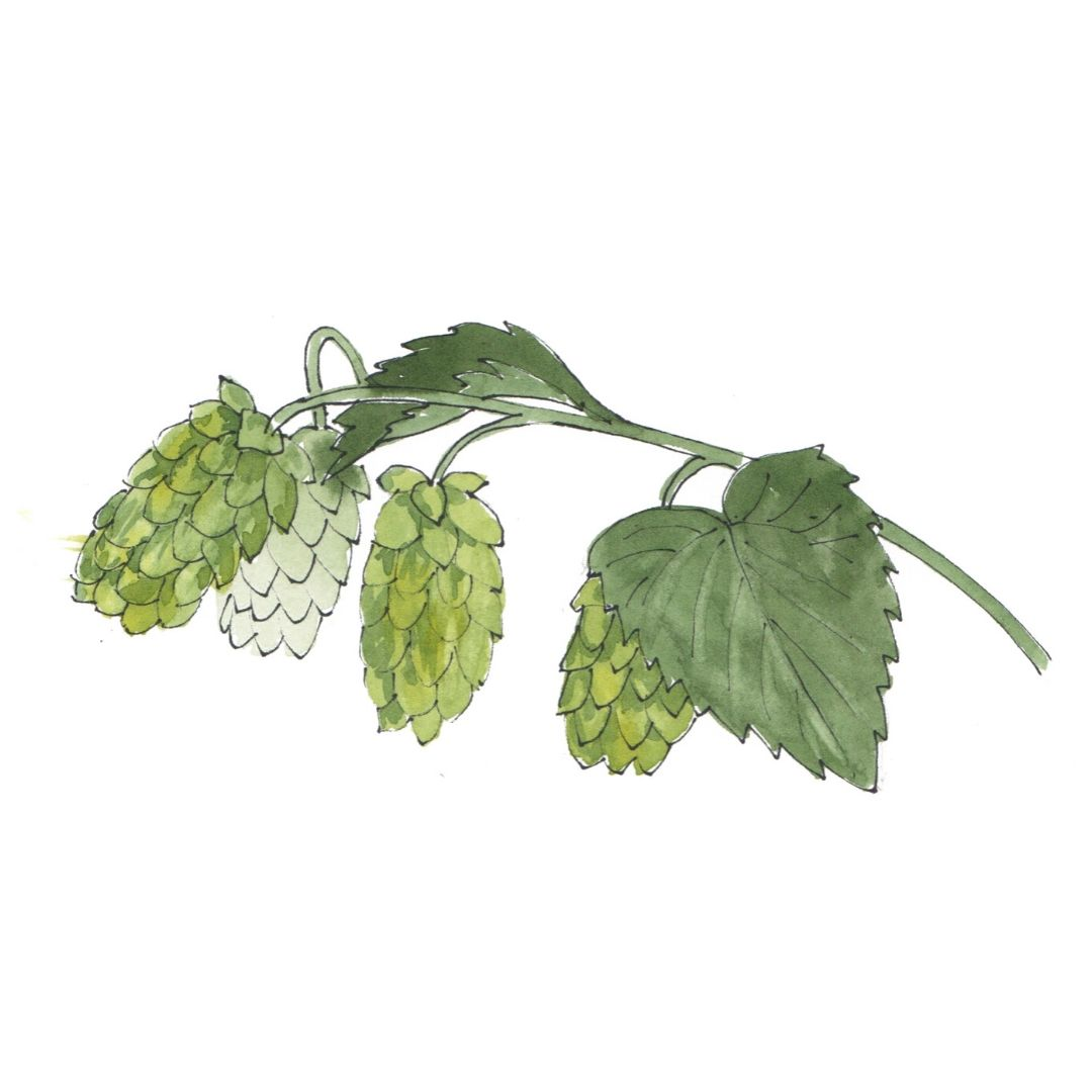 hand drawn illustration of Hops - star botanical ingredient in AMLY skincare range
