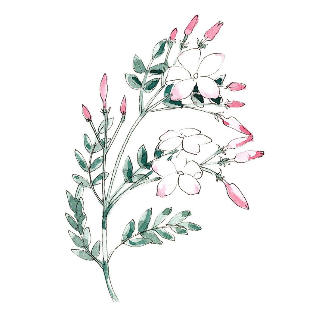 hand drawn illustration of Jasmine - star botanical ingredient in AMLY botanical skincare range