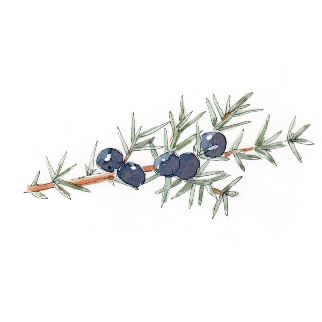 hand draw illustration of Juniper - star ingredient in AMLY botanical skincare