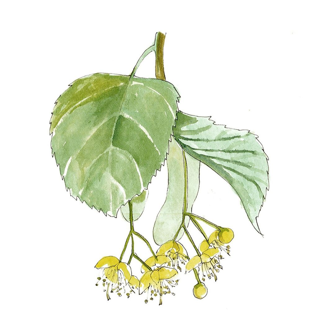 hand drawn illustration of linden blossom - star ingredient in AMLY botanical skincare range