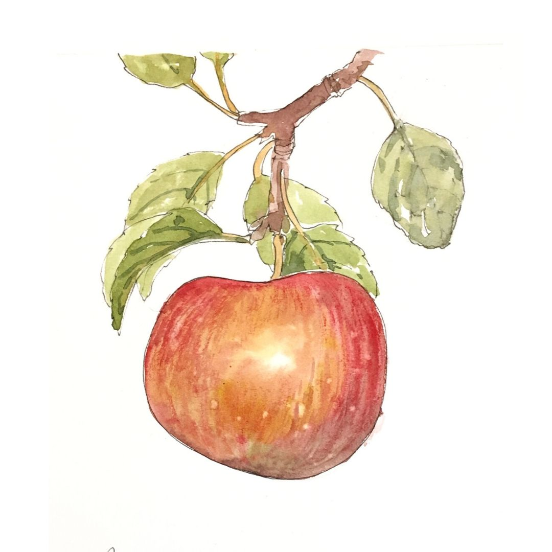 Illustration of Apple Pyrus Malus from AMLY bio-fermented apple cider vinegar