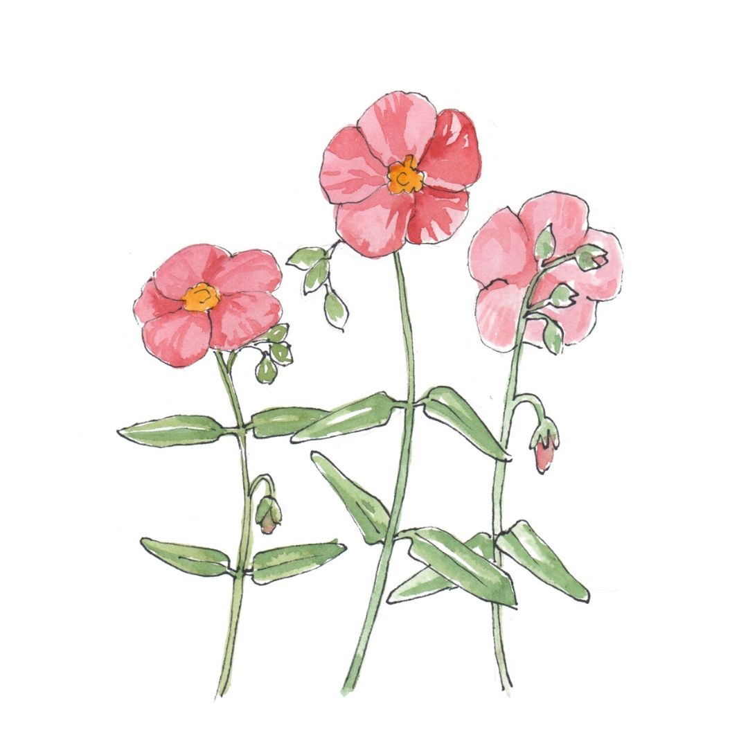 hand drawn illustration of rock rose - star botanical ingredient in AMLY botanical skincare range