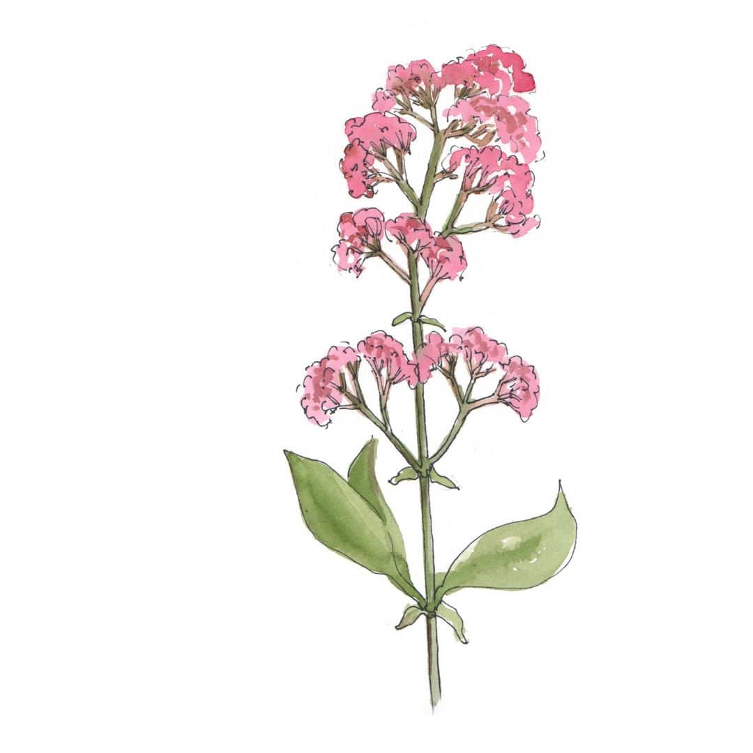 hand drawn illustration of valerian - star botanical ingredient in AMLY botanical Skincare