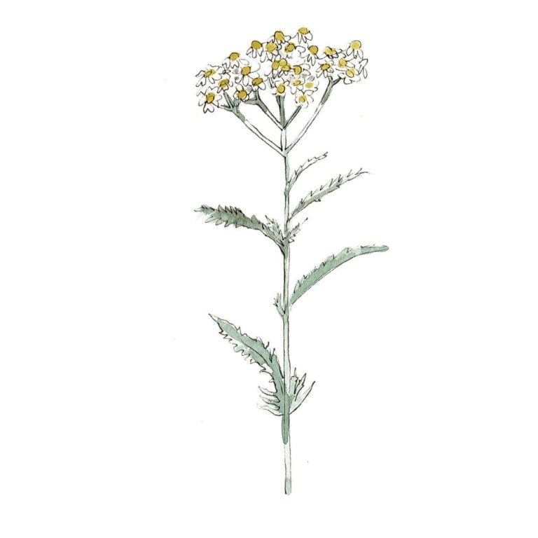 hand drawn illustration of yarrow oil - star ingredient in AMLY botanical skincare products