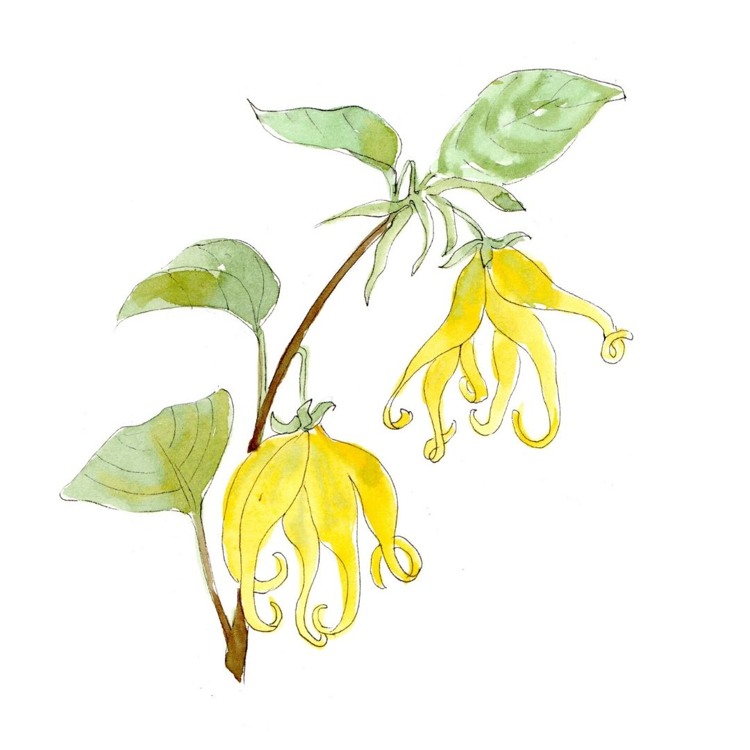 hand drawn illustration of Ylang Ylang - star botanical ingredient in AMLY botanical skincare range